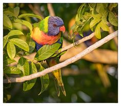 Rainbow Lorikeet - Burrum Heads, Qld