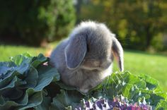 Solid opal female Holland Lop baby