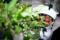 wikiHow to Feed Plants in a Hydroponics System Using Maxsea -- via wikiHow.com