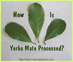 How is Yerba Mate Processed? Drying technices. Harvest. Learn about yerba mate types.
