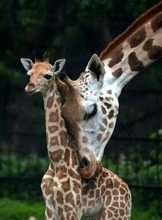 Giraffe mother and child calf
