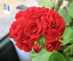 Пеларгонии, комнатные растения, купить пеларгонию