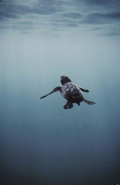 Baby Sea Turtle l Wildlife Baby Sea Turtles, Cute Turtles, Turtle Baby, Small Turtles, Turtle Time, Wale, Ocean Creatures, Tortoises, Ocean Life
