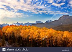 Download this stock image: Aspen Grove in the Morning, Northern Jasper National Park, Alberta, Canada - CFCPN8 from Alamy's library of millions of high resolution stock photos, illustrations and vectors.