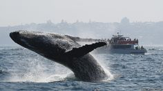Humpback whale flipping backwards into the ocean while spectators watch from a boat