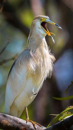 Indian Pond Heron In Breeding Plumage