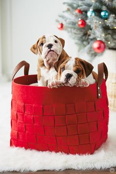 13 adorable holiday pet photo ideas (and tips for bonus cuteness) from the animal photography experts in Hallmark's photo studio. Photos With Dog, Cute Dog Photos, Puppy Pictures, Animal Pictures, Pet Photos, Puppy Pics, Dog Christmas Pictures, Christmas Puppy, Christmas Animals