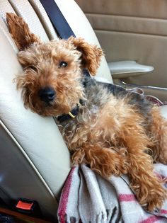 welsh terrier, molly, mercedes 280 SL - This image belongs to PAUL RAESIDE and is copyrighted .