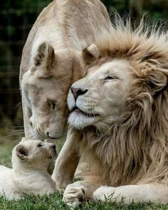 """""""Animals have hearts that feel, eyes that see, and families to care for. Big Cats, Cats And Kittens, Cute Cats, Cute Baby Animals, Animals And Pets, Funny Animals, Lion Pictures, Animal Pictures, Daily Pictures"""