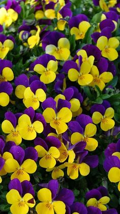 Viola Cornuta Johnny Jump-Up, Vibrant Blooms Are Deep Purple And Yellow, Creating A Solid Carpet Of Color For Weeks Emsflower Exotic Flowers, Amazing Flowers, Pretty Flowers, Purple Flowers, Spring Flowers, Flowers Drawn, Fleur Pansy, Flower Yellow, Beautiful Flowers Wallpapers
