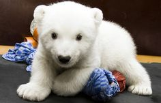 Adorable baby polar bear! Nuremberg Zoo ,Polar Bear Flocke (by… - http://humorandfail.com/adorable-baby-polar-bear-nuremberg-zoo-polar-bear-flocke-by/