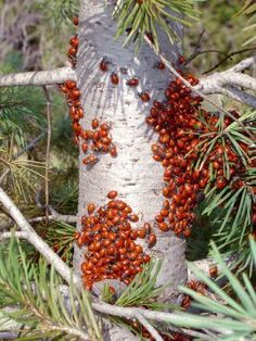 Great tips on keeping Lady Bugs in your garden. Lady bugs eat other harmful pests in your garden while leaving your plants alone!