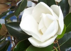 Learn about the Louisiana state flower - the Magnolia