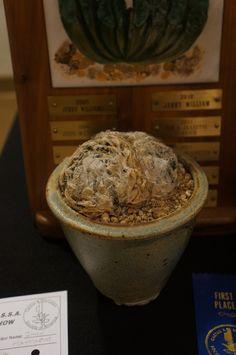https://flic.kr/p/MJCCBD | Haworthia semiviva CSSA 2013.JPG