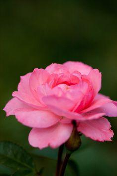 'Jardins de France' | Floribunda, Hybrid Tea Rose. Michèle Meilland Richardier (France, before 1998) | Flickr - © Yoko Nekonomania