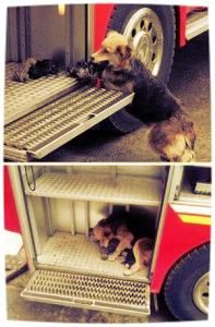 Dog Carries Puppies From Burning House to Fire Truck. (Click image for full story.)