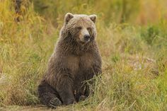 Grizzly bear by Christian Sanchez on 500px