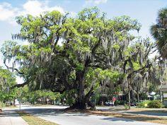 Lovers Oak - Brunswick, GA