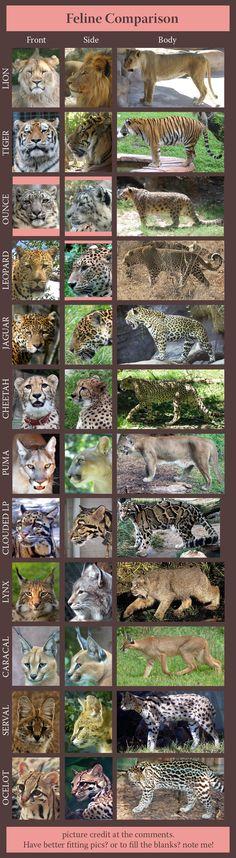 feline_comparison__huge_by_sindos