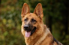 Các tiêu chí không đạt khi chọn chó Becgie http://becgie.net/cac-tieu-chi-khong-dat-khi-chon-cho-becgie.html#5