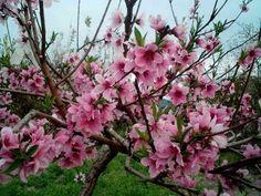 Prunus persica 'Rubira' STRUIK BW | Perzik - Palmhunters