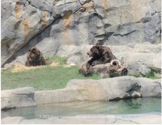Brown bears at Brookfield Zoo.