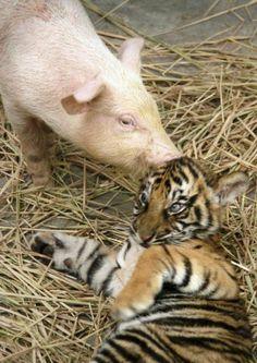tigrotto e maialino