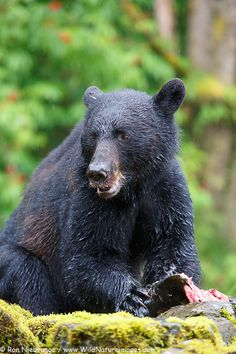 Black bear at the Neets Bay Hatchery,Tongass National Forest, near Ketchikan, Alaska. by RON NIEBRUGGE