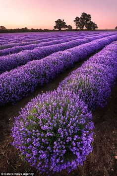 A field of lavender in Somerset last year