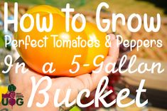 How to Grow Perfect Peppers & Tomatoes in a 5 Gallon Bucket - Urban Organic Gardener