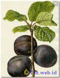 Cara Pembibitan Budidaya Buah dan pohon Tin, Sebelum Raja Jempol berikan bagaimana cara budidaya buah tin…