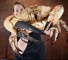 Gigantesco cangrejo rey de Tasmania salvado de la olla | Vista al Mar _ Peñíscola _