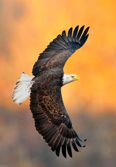 ☀A young adult American Bald Eagle by William Jobes