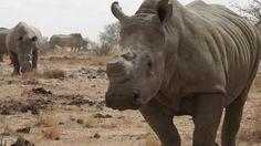 هل بيع قرون وحيد القرن بشكل قانوني سيحميه من الصيد والقتل