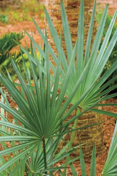 Silver saw palmetto - 10 Drought-Tolerant Native Plants - Southernliving. Serenoa repens 'Cinerea'    Grows 6-7 feet tall and wide; sun or light shade; hardy to 15 degrees.