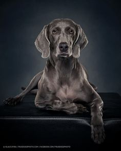 Photograph charlotte the weimaraner dog by Klaus Dyba on 500px
