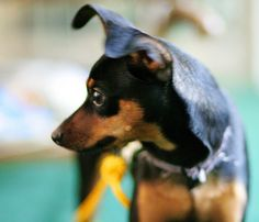 miniature pinscher, min pin