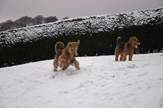 Airedale terriers = the best dogs in the world!