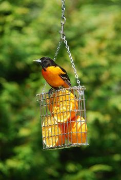 Using a suet feeder as a simple fruit feeder to attract Orioles and other fruit loving birds. This is a great idea. Oriole Bird Feeders, Diy Bird Feeder, Woodpecker Feeder, Best Bird Feeders, Squirrel Feeder, Humming Bird Feeders, Love Birds, Beautiful Birds, For The Birds