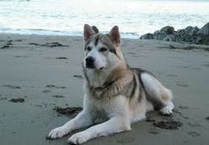 """The Northern Inuit is a domestic dog that resembles a wolf. Learn about this """"Game of Thrones"""" dog's history, appearance, health, and other characteristics. Utonagan Dog, Tamaskan Dog, Pet Dogs, Dogs And Puppies, Dog Cat, Doggies, Husky, Northern Inuit Dog, Dog Poses"""