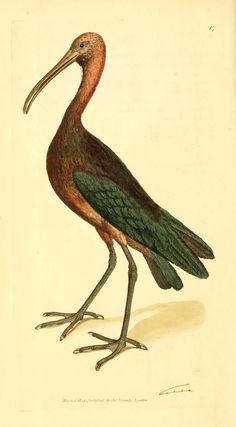 1806 ibis