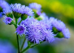 Ageratum - flower which belongs to the family Asteraceae