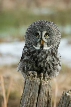 Great Gray Owl | pinned by hector trevino