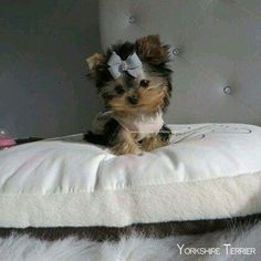 Find Out More On The Brave Yorkie Pups Temperament Teacup Yorkie, Teacup Puppies, Tea Cup Yorkie Puppies, Yorkie Puppy, Cute Dogs And Puppies, Baby Yorkie, Tiny Puppies, Husky Puppy, Cute Funny Animals