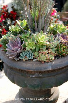 Succulents looks beautiful planted in mass in a classic urn
