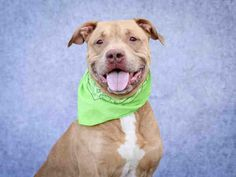 HOMER - URGENT - L.A. COUNTY ANIMAL CARE CONTROL: CARSON SHELTER in Gardena, CA - Adult Male Pit Bull Terrier