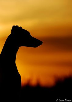 greyhound in the sunset