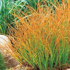 Purchase our Prairie Fire Sedge. Enjoy a range of colors with this low-growing ornamental grass. Growing with an upright habit, its foliage is various. Succulents Garden, Garden Plants, Indoor Garden, Landscape Design, Garden Design, Landscape Grasses, Landscape Materials, Prairie Fire, Prairie Garden