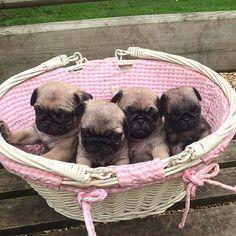 Basket of sweet pug puppies