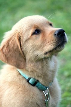 Golden retriever puppy by Tess Beverwijk #GoldenRetriever